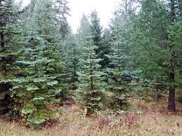 Christmas Tree Seedlings by Corner Crest Natural Farm Christmas Tree Season 2016