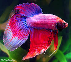 poisson eau douce aquarium tropical betta mariage saisons poissons aquarium et