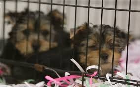 Do Morkies Shed A Lot by Nearly 30 Yorkies Removed From Gulfport Home The Sun Herald