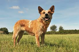Dogs That Shed Minimally by Best Brush For Australian Cattle Dog Barkspace