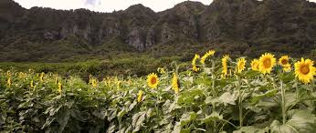 Waimanalo Pumpkin Patch Oahu by Events U2014 Waimanalo Country Farms