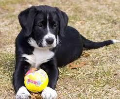 Borador Border Collie Lab looks just like my Murphy Love my Borador best dog ever looks like mac