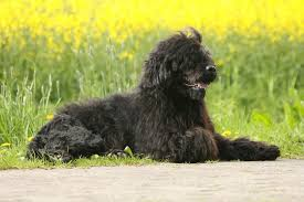 Good Big Non Shedding Dogs by Ten Of The Best Dog Breeds For Allergy Sufferers Pets4homes