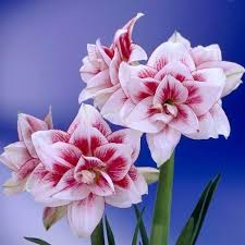 amaryllis bulb amaryllis bulb amaryllis bulbs sale free shipping