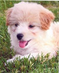 Do Shibas Shed A Lot by Poodle Mix With My Favorite Dog A Shiba Inu It U0027s So Cute And