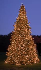 Olympia Pine Tower Tree 14ft