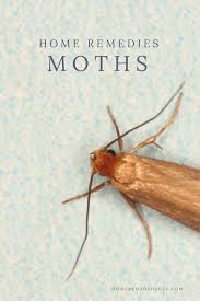 15 Proven Home Reme s to Get Rid of Moths for Good