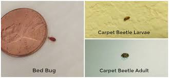 Carpet Weevil Pictures by How To Tell The Difference Between Bed Bugs And Carpet Beetles