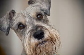 100 do giant schnauzer dogs shed hair hypoallergenic dogs