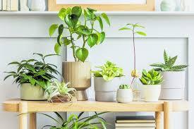zimmerpflanzen für gute luft vorarlberger nachrichten vn at