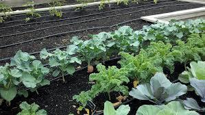 growing broccoli bonnie plants