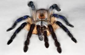 Remains Of The Day Spiders by World U0027s Prettiest Tarantula Takes Best In Show 2014