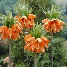 buy fritillaria j bulbs