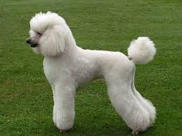 Best Guard Dogs That Dont Shed by 19 Best Standard Poodle Clips I Like Images On Pinterest