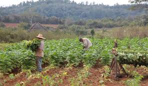 At The Height Of Tobaccos Popularity There Were Approximately 10000 Tobacco Plantations Across Island Several Which Are Still In Existence Today