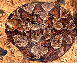 Shed Snake Skin Pictures by Copperhead Snakes And Water Snakes The Infinite Spider