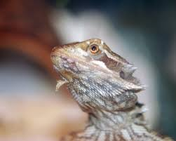 Improper Shedding Bearded Dragon by Bearded Dragon Shedding In Patches