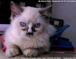 cat runny nose 0829asingapore veterinary ragdoll kitten cat flu sneezing green