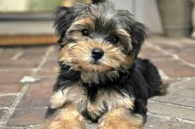 Morkies Do They Shed by Top 12 Facts A Morkie Owner Needs To Know