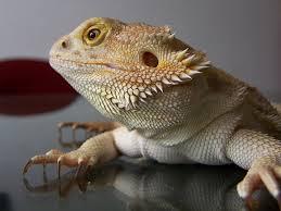 Bearded Dragon Shedding Behavior by Pet A Bearded Dragon Pet Attack