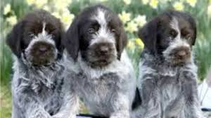 German Shorthaired Pointer Shedding by Wirehaired Pointing Griffon Top 10 Amazing Facts About
