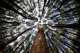 Hutan Pinus Ala Twilight Di Imogiri
