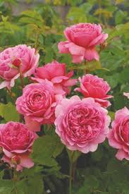 The Most Popular English Roses in America