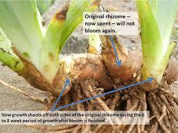 saving overgrown iris for the of iris