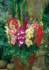 daylilies in australia gladiolus care how to store gladioli