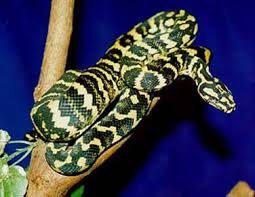 Coastal Carpet Python Facts by Jungle Carpet Python Facts Carpet Vidalondon