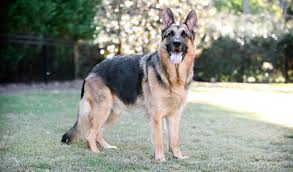 What Kind Of Dogs Shed The Most by German Shepherd Dog Breed Information