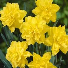 daffodil bulbs buy best price daffodil bulbs in ireland