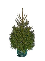 Christmas Tree Species Usa by Blue Spruce And Korean Fir Christmas Trees Needlefresh Uk