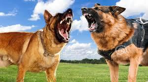 belgian malinois vs german shepherd dog comparison k9 youtube