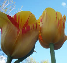 plant bulbs for early color designscapes colorado