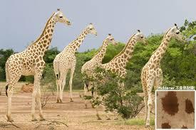West African Giraffe Hiddener