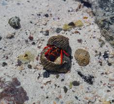 Do Hermit Crabs Shed Their Whole Body by Crabs In Broken Shells Often Have The Upper Claw In Fights