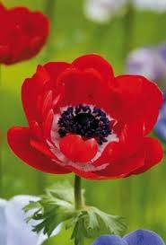 buy anemone st brigid mixed bulbs unwins seeds