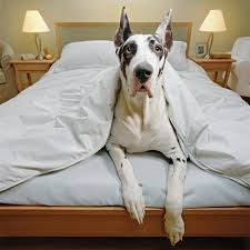 30 Dog Breeds That Shed The Most by Great Dane Dog Breed Information Pictures Characteristics