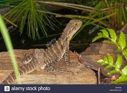Bearded Dragon Shedding In Patches by Lizard Skin Shedding Stock Photos U0026 Lizard Skin Shedding Stock