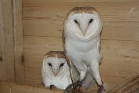 2016 ADULT MALE BARN OWL DNA TESTED | Stourbridge, West Midlands ... Barn Owl Tyto Alba Onyx On The Left Is A British Male Flickr Fimale 3 6942373687jpg Wikimedia Commons Ruffled Feathers November 2014 Mysterious Wise Barn Owl In Shadows Nocturnal Hunter World Bird Sanctuary January 2013 Owls Ghosts And Noises Night The Trust Lone Pine Koala Owlline Owllinelovers Twitter Audubon Field Guide A Brief Introduction To Common Types Of Barney California Raptor Center Connecticuts Beardsley Zoo