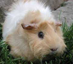 Pine Bedding For Guinea Pigs by Caring For Pet Guinea Pigs Thriftyfun