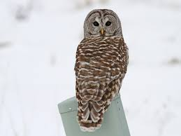Barred Owl Adult Northern Is Similar To Spotted