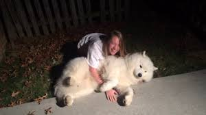 Do Samoyed Dogs Shed Hair by Stubborn Samoyed Trying To Get Cody In From The Cold At Bedtime