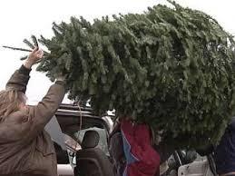 Seattle Christmas Tree Disposal 2015 by Christmas Tree Pick Up Cbs Miami