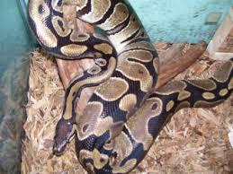 ball python care sheet exotic reptiles