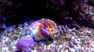 Halloween Hermit Crab by Orange Leg Hermit Crab Youtube