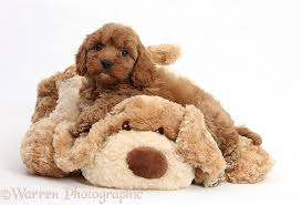do cavapoos shed a lot cavoodle cavapoo breed information and temperament