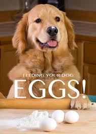 Dogs That Dont Shed Bad by Can Dogs Eat Eggs A Food Safety Guide By The Labrador Site