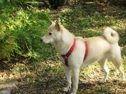 Do Shibas Shed A Lot by What Colors Are Shiba Inu Dogs Animalwised
